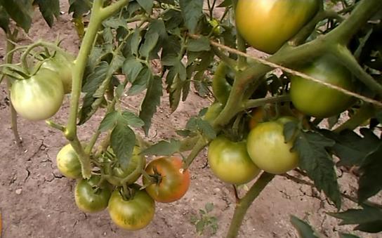 Kogda snimat' pomidory