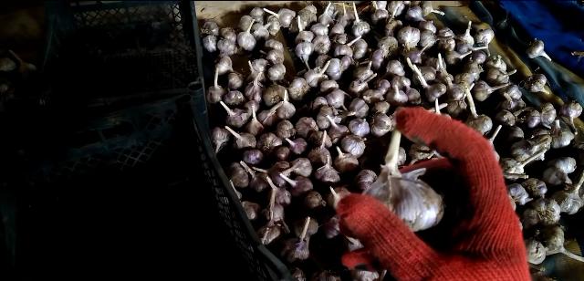 Pravil'noe hranenie chesnoka zimoj