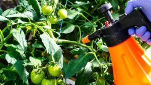 Pomidory ot fitoftoroza obrabotka