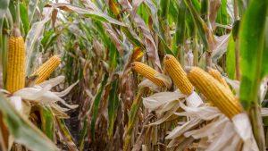 Kukuruza ot poseva do urozhaya